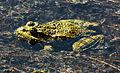 Wasserfrosch im Botanischen Garten in Muenchen.JPG