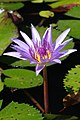 Water lily (16084610151).jpg