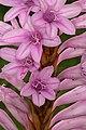 Watsonia densiflora 1DS-II 2066.jpg