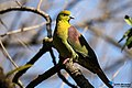 Wedge-tailed green pigeon - Treron sphenurus (28).jpg