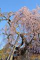 Weeping cherry tree in Himuro jinja 20150326 03.jpg