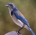 Western Scrub Jay (aphelocoma californica) (8001957921).jpg