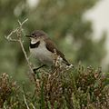 White-fronted Chat (female).jpg