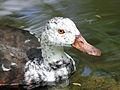 White-winged Wood Duck (Cairina scutulata) RWD6.jpg