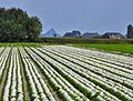 White Hats for shade to make White Endive for salads. - panoramio.jpg