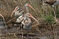 White Ibis (immature) Anahuac NWR High Island TX 2018-03-26 12-49-15 (40145806445).jpg