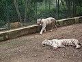 White Tiger from Bannerghatta National Park 8513.JPG