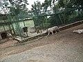 White Tiger from Bannerghatta National Park 8515.JPG
