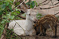 White fawn and boar 001.jpg