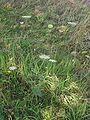 Wilde wortel plant Daucus carota.jpg