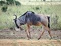 Wildebeest - Mikumi National Park - Tanzania - 01 (8892423826).jpg