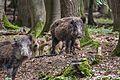Wildschweine mit Frischlingen, Nähe Nikolaitor.jpg