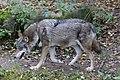 Wolf Canis lupus lupus Tierpark Hellabrunn-1.jpg