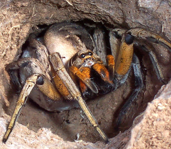 IMAGE(http://upload.wikimedia.org/wikipedia/commons/thumb/2/2a/Wolf_spider_attack_position.jpg/686px-Wolf_spider_attack_position.jpg)