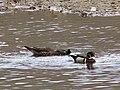 Wood Duck Pair (32318661113).jpg