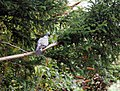 Wood Pigeon in a Yew, Goodnestone, Dover, Kent, England.jpg