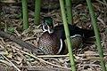 Wood duck male staredown (14268198126).jpg
