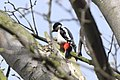 Woodpecker - March 2010 (4451718396).jpg
