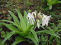 Woodrow's lily (3689562299).jpg