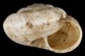 Xerocrassa geyeri shell.png