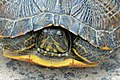 Yellow-bellied slider.jpg