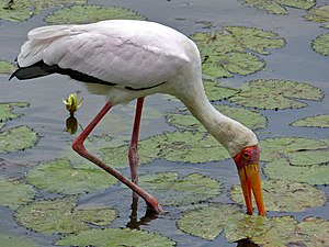 Stork - Mycteria storks, like this yellow-billed stork, have sensitive bills that allow them to hunt by touch