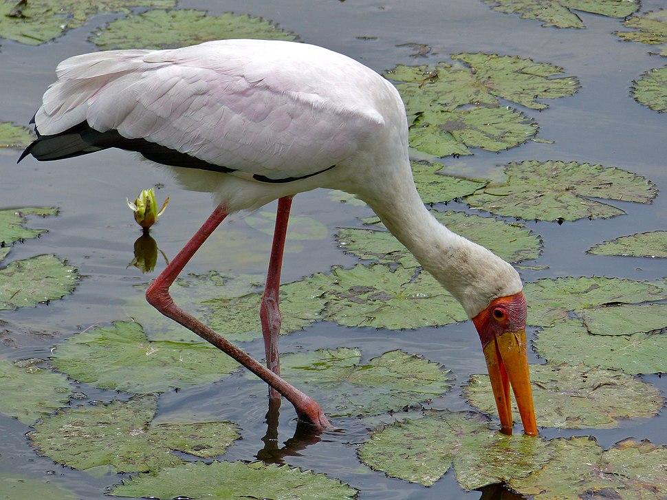 Yellow-billed Stork (Mycteria ibis) (12011503884)