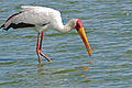Yellow-billed Stork (Mycteria ibis) (16332143300).jpg