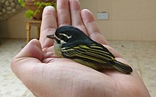 Yellow-rumped tinkerbird1.jpg
