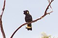 Yellow-tailed Black Cockatoo (Calyptorhynchus funereus) (8079600179).jpg
