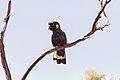 Yellow-tailed Black Cockatoo (Calyptorhynchus funereus) (8079600179).jpg