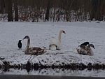File:Young swans and swan parents during winter 102359772.jpg