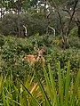Young whitetail buck.jpg