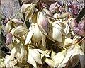 Yucca Bloom, Joshua Tree NP 4-13-13a (8690220486).jpg