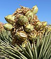 Yucca brevifolia 20.jpg