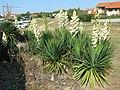 Yucca filamentosa (Capbreton)3.jpg