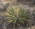 Yucca schidigera Mojave Yucca 003.jpg
