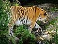 Zürich Zoo Amur Tiger (17165436158).jpg
