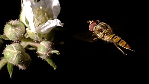 Zepper - Episyrphus balteatus male on the fly.jpeg