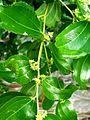 Ziziphus mauritiana (Jujubier 1).jpg