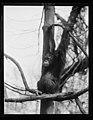 Zoo? ape LCCN2016890720.jpg