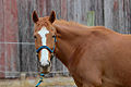 """Orange Juice"" - Rescue Thoroughbred (7104384599).jpg"