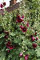 'Alcea rosea' Halo Series Hollyhock Cerise Henham Essex England.jpg