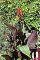 'Cannaceae' Canna (genus) in Victorian garden Quex House Birchington Kent England 2.jpg