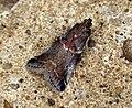 (1438) Trachycera suavella (5970735400).jpg