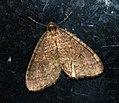 (1799) Winter Moth (Operophtera brumata) (4284044467).jpg