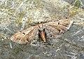(1830) Wormwood Pug (Eupithecia absinthiata) (7599649058).jpg