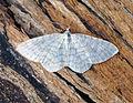 (1875) Small White Wave (Asthena albulata) (19366730682).jpg
