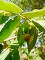 (Arya) muntingia calabura fruit.jpg