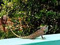 (Calotes versicolor) Garden Lizard spotted at Madhurawada.jpg
